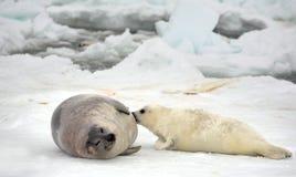 Ko för harpaskyddsremsa och nyfödd valp på is royaltyfri bild