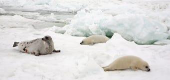Ko för harpaskyddsremsa och nyfödda valper på is arkivfoto