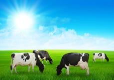 Ko i ängen Arkivbild