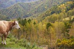 Ko i altaiberg i höst Brunt, guling och gräsplan Royaltyfri Bild