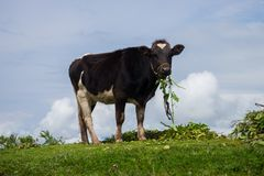 Ko i bergen Arkivfoto