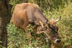 Ko i berget i gräset royaltyfria bilder