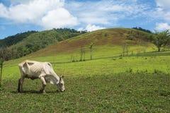 Ko i bygdlantgård- och bergsikt Arkivfoto