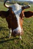 Ko i en beta royaltyfri bild