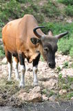 Ko i en sätta in Arkivfoto