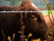Ko i ett engelskt f?lt royaltyfria foton