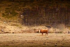 Ko i ett fält Royaltyfria Foton