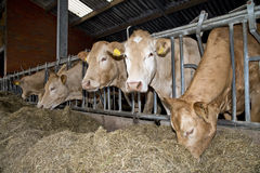 Ko i ett stall arkivfoto