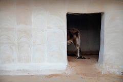 Ko i ett stall i Indien Royaltyfria Bilder