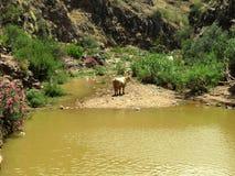 Ko i ett Yellow River royaltyfria bilder
