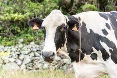 Ko i Fajã som är stor på ön av Flores i Azoresna, Portugal Royaltyfria Bilder