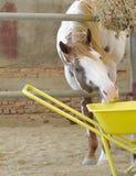 Koń i karmienie Zdjęcia Stock