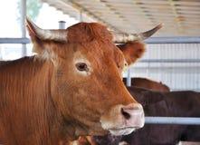 Ko i ladugården Royaltyfri Bild