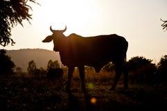 Ko i lantgård Royaltyfri Bild