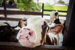 Ko i lantgård Fotografering för Bildbyråer