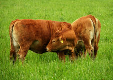 Ko i lantgård Arkivfoto