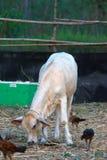 Ko i lantgården Royaltyfri Foto