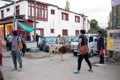 Ko i Leh Ladakh Fotografering för Bildbyråer