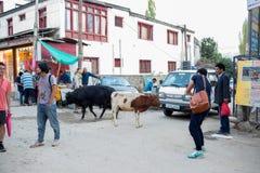 Ko i Leh Ladakh Royaltyfri Bild