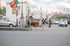 Ko i Leh Ladakh Royaltyfria Foton