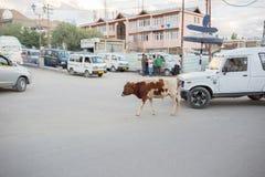 Ko i Leh Ladakh Royaltyfria Bilder