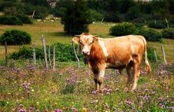 Ko i natur Arkivfoto