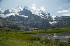 Ko i schweiziska fjällängar Arkivfoton