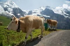Ko i schweiziska fjällängar Arkivfoto