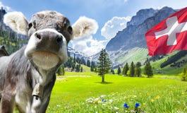Ko i schweiziska fjällängar med flaggan fotografering för bildbyråer
