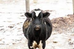 Ko i vinter Fotografering för Bildbyråer