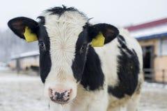 Ko i vinterlantgård Arkivfoto