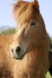 koń icelandic Zdjęcie Stock