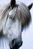 koń icelandic Zdjęcia Royalty Free