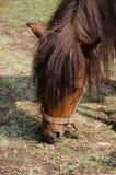 Koń je trawy Zdjęcia Royalty Free