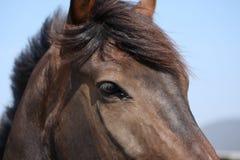 koń jest oko obraz royalty free
