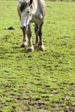 koń Kentucky rolnych Zdjęcie Stock