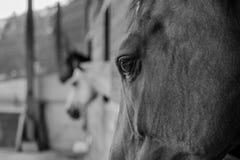 Koń - konia oko Obraz Stock