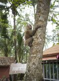 The driver sends the monkey to the palm tree to tear off the coc. Ko Kut,Thailand- February 25,2018: The driver sends the monkey to the palm tree to tear off the Royalty Free Stock Photos
