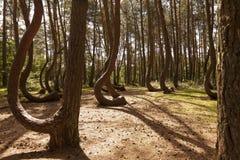 Koślawy las w Nowe Czaernowo, Polska Obraz Royalty Free