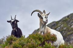 Koźli portret, Norwegia, kózka pozuje dla obrazków Zdjęcia Stock