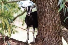 Koźlia pozycja na eukaliptusowym drzewie Obraz Royalty Free