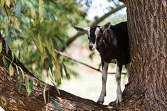 Koźlia pozycja na eukaliptusowym drzewie Obrazy Stock