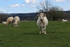 Ko med calfsna Royaltyfri Fotografi