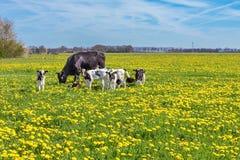 Ko med kalvar som betar i äng med maskrosor royaltyfri fotografi