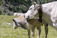 Ko med kalven Royaltyfri Bild