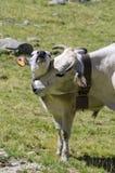 Ko med kalven Royaltyfria Bilder