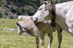 Ko med kalven Fotografering för Bildbyråer
