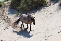 Koń na diunach Obrazy Royalty Free