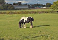 Koń na polu Obrazy Royalty Free