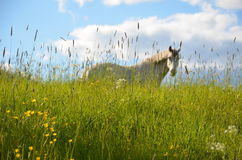 Koń na polu Fotografia Royalty Free